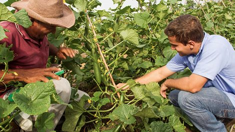 two men inspecting cucumber plants